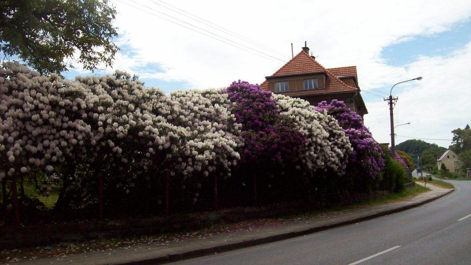 Rododendrony Česká Kamenice