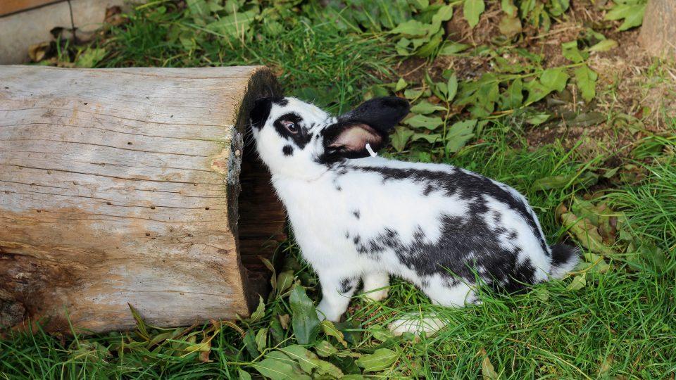 Nadaného králíka chová Jiří Kočár ve venkovním výběhu