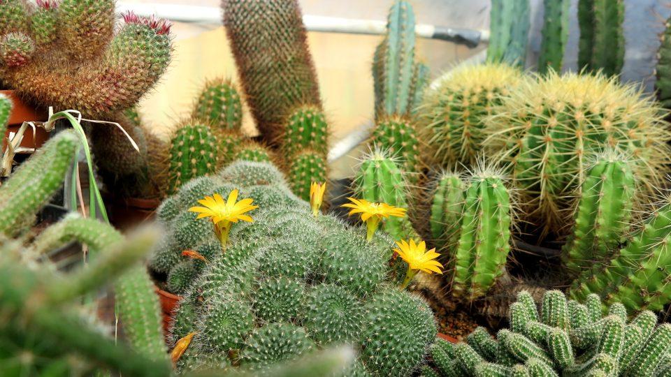 V létě kaktusy nejvíce kvetou, platí to o devadesáti procentech kaktusů