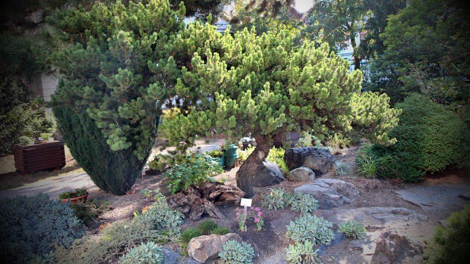 Zahrada, o kterou se stará plzeňský Alpinum klub, se může pochlubit i kolekcí cedrů