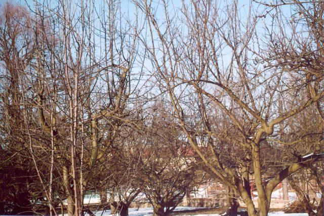 Ovocný strom před řezem   foto: Stanislav Peleška