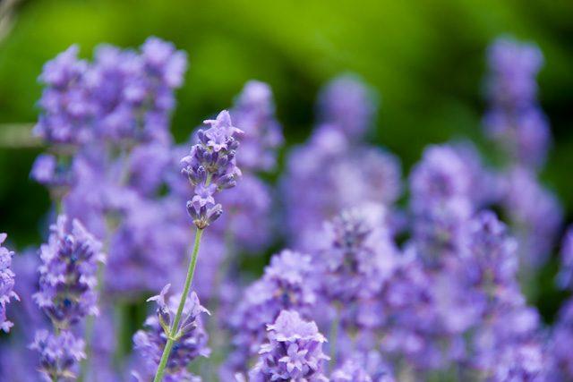 levandule (květ)
