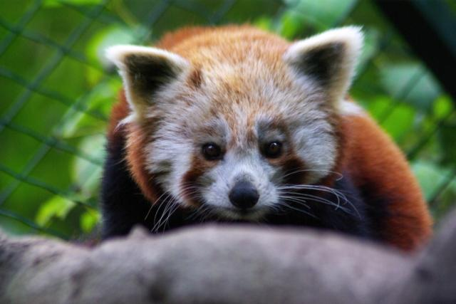 Panda červená ve zlínské zoo
