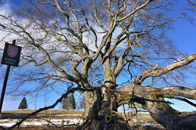 Památný strom Pastýřský buk